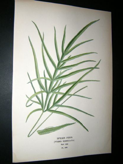Step 1897 Antique Botanical Print. Spider Fern | Albion Prints